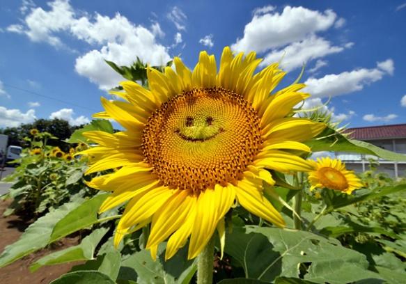 mosolygós napraforgó